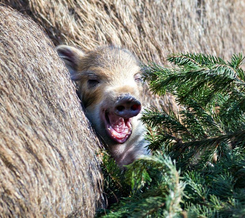 Wildschweine_mit_jungtieren_ZO28095