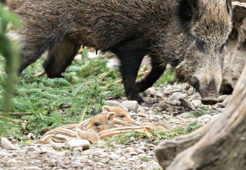 Wildschwein_jungtiere_ZO26908