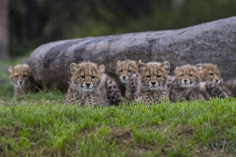 2_Six Sibling Cheetah Cubs