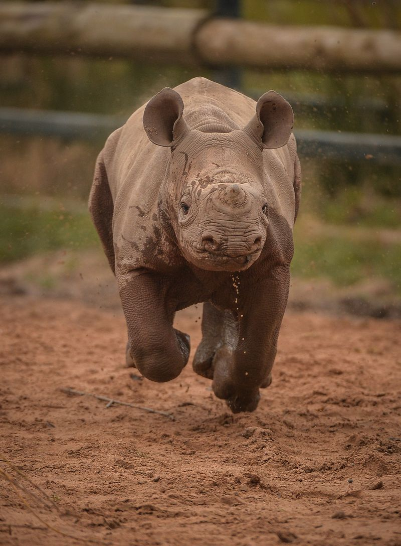 1_Mud, glorious mud! Two-month-old Eastern black rhino calf, Gabe, charges through a mud wallow at Chester Zoo (2) (1)