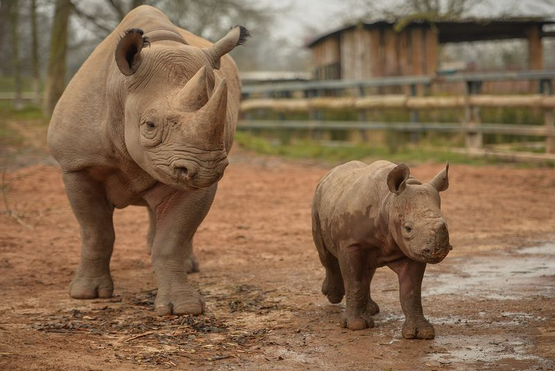 2_Mud, glorious mud! Two-month-old Eastern black rhino calf, with mum Ema Elsa (3)