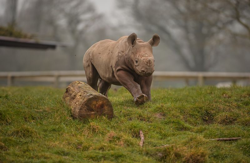 4_Mud, glorious mud! Two-month-old Eastern black rhino calf, Gabe, charges through a mud wallow at Chester Zoo (12)