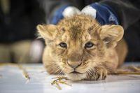 Curious Cubs Explore at Planckendael