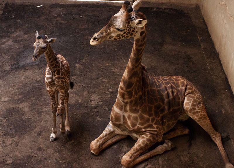 1_SB Zoo Baby Giraffe_Chad 3.30.16_1