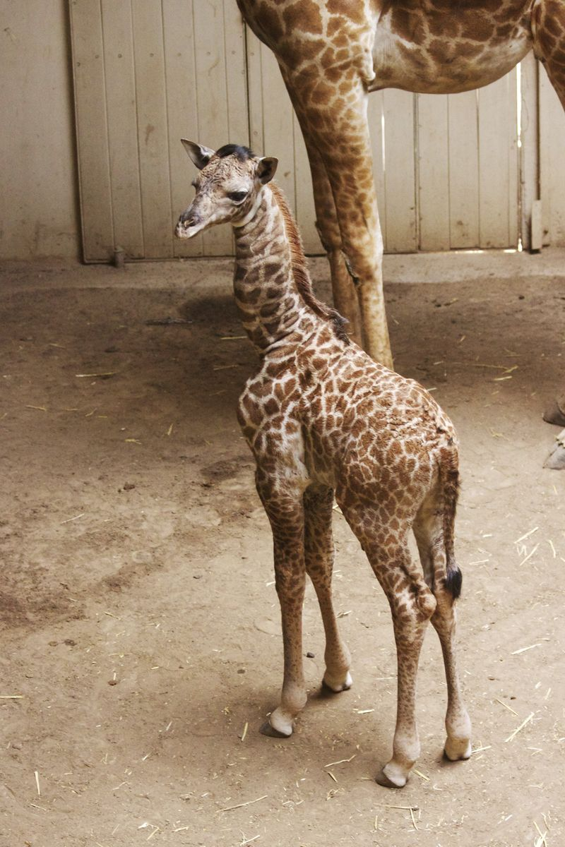 7_SB Zoo Baby Giraffe 3.28.16_7