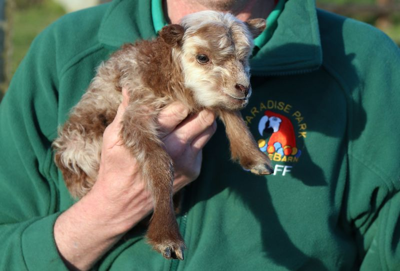 1_Ouessant Lamb Paradise Park Cornwall 5