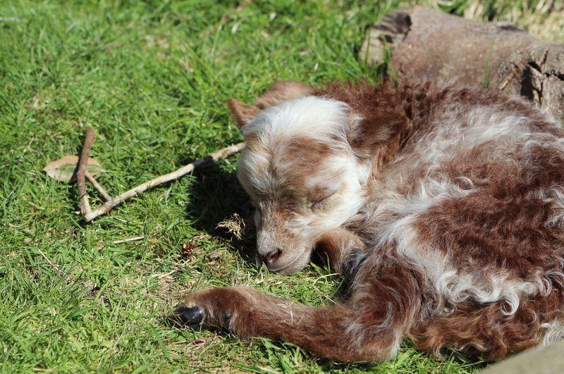 3_Ouessant Lamb Paradise Park Cornwall 2