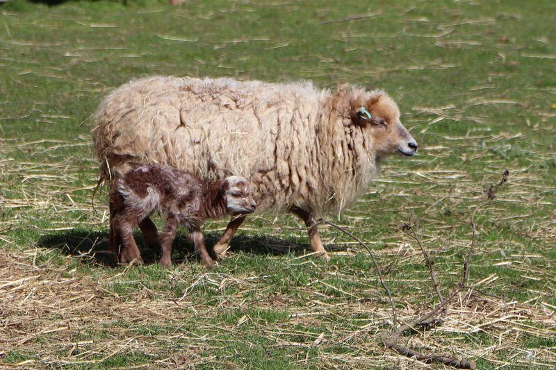 4_Ouessant Lamb Paradise Park Cornwall 3