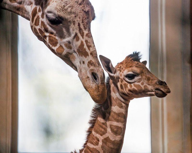 2_SF Zoo Calf_photo by Marianne Hale