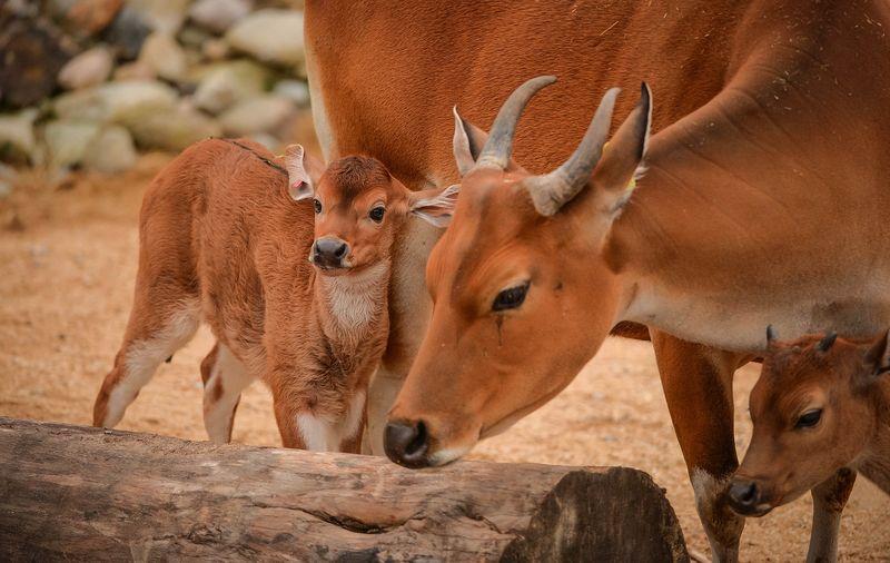 2_A rare banteng calf, named Jasmine, has been born at Chester Zoo (17)