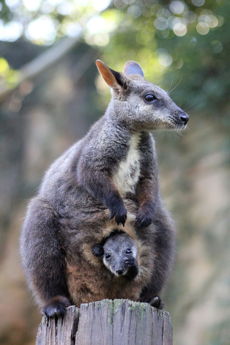 3_Wallaby Joey_Photo by Paul Fahy (9)