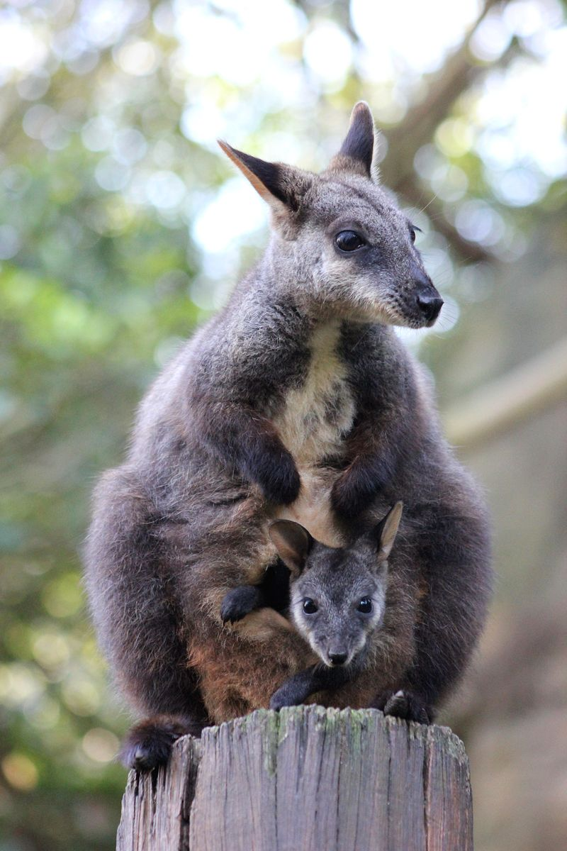 4_Wallaby Joey_Photo by Paul Fahy (10)