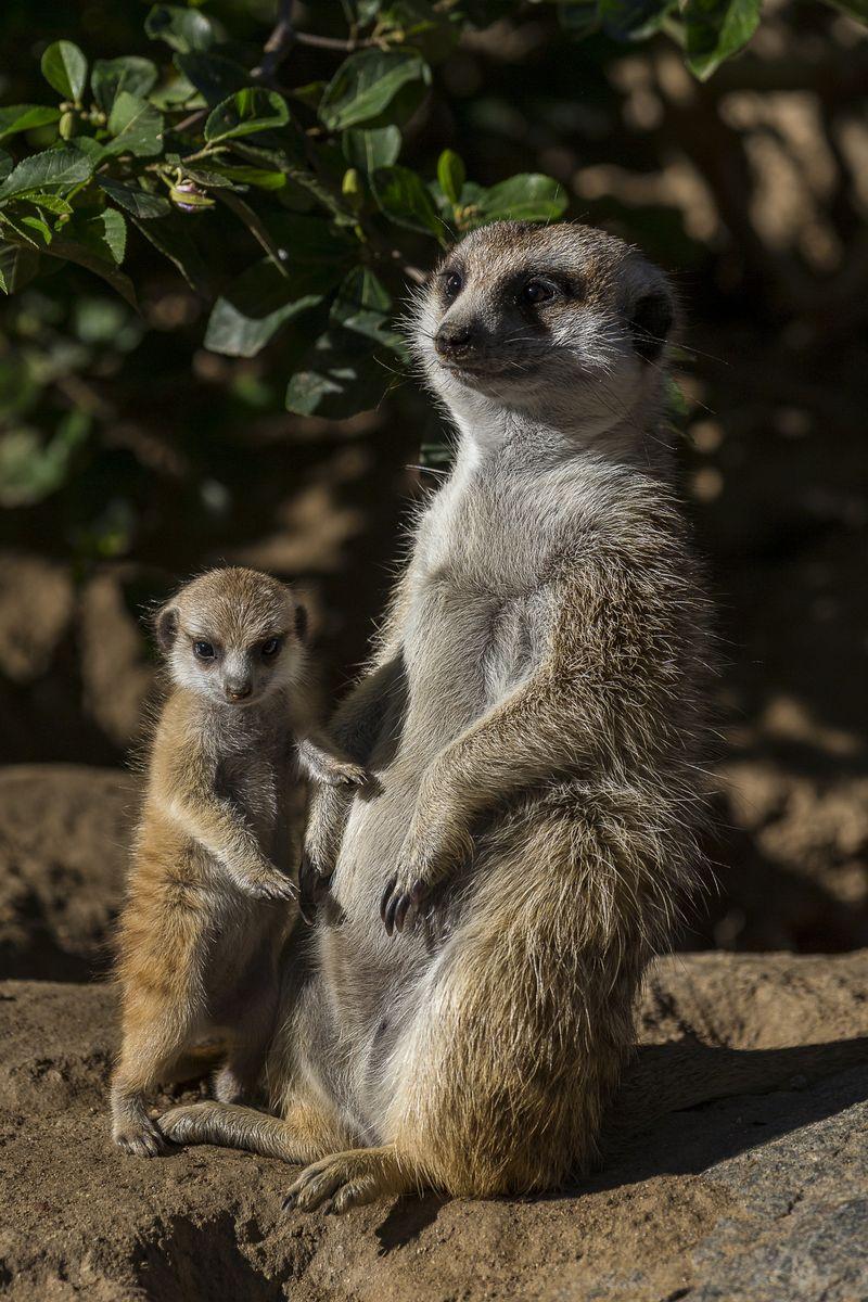 1_Meerkat pup & Adult_LG