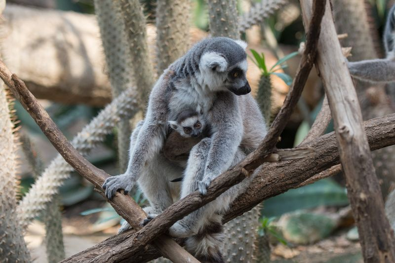 5_Julie Larsen Maher_5702_Ring-tailed Lemur and Baby_MAD_BZ_04 05 16_hr