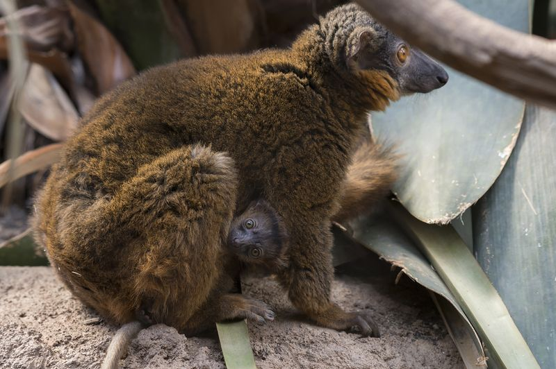 8_Julie Larsen Maher_9104_Collared Lemur and Baby_MAD_BZ_04 14 16