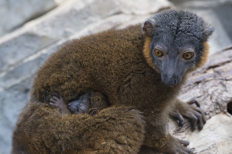 9_Julie Larsen Maher_8991_Collared Lemur and Baby_MAD_BZ_04 14 16