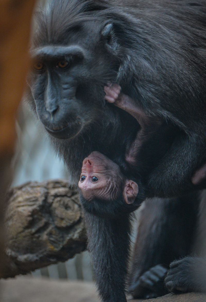 2_A week-old Sulawesi macaque is nursed by mum Lisa (22)