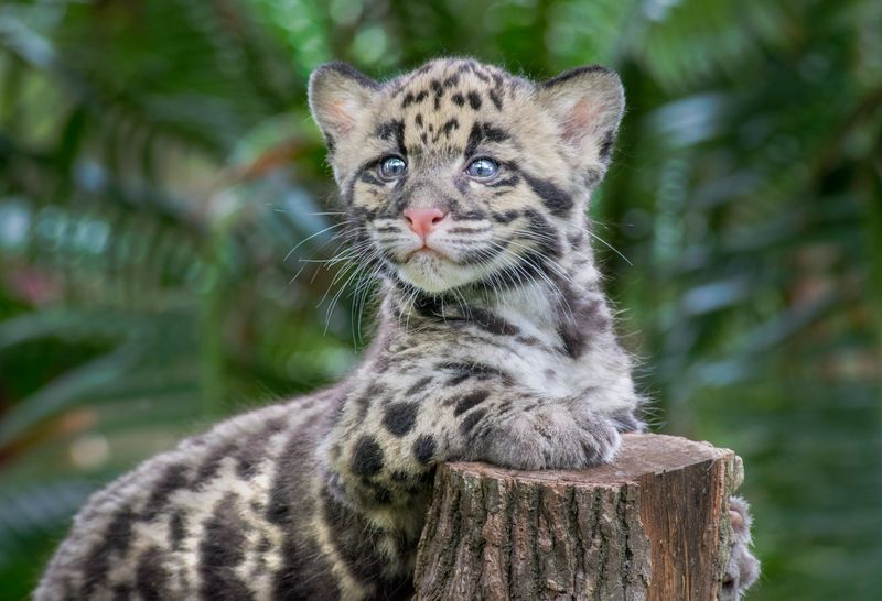 5_TLPZ Clouded leopard cubs (4) by Caitlin Chase