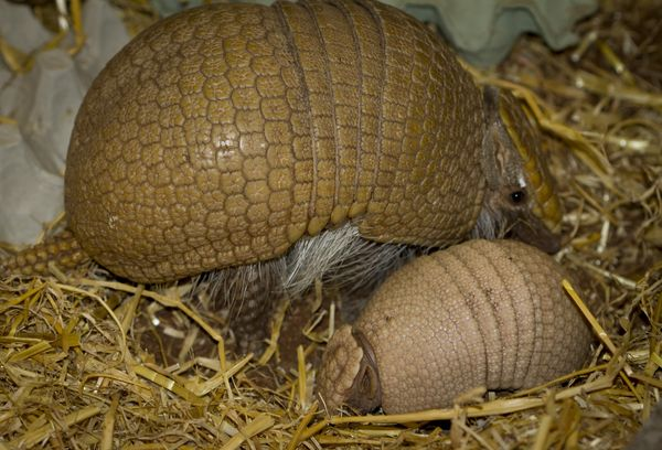 Second Armadillo Birth for Edinburgh Zoo