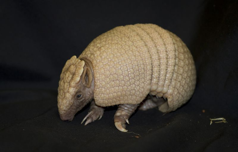 2_16_4_26_Three_banded_armadillo_baby_JP_3