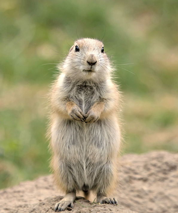 Prairie Dog Zooborns