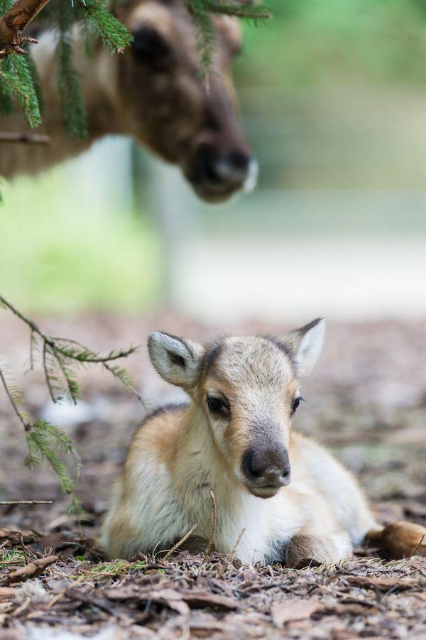 Meet Zoo Basel S Four Reindeer Calves Zooborns