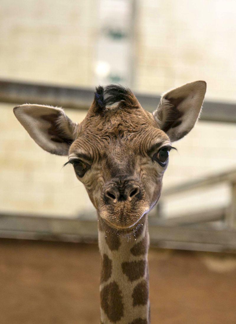 1_2016 05 PZ giraffe 5