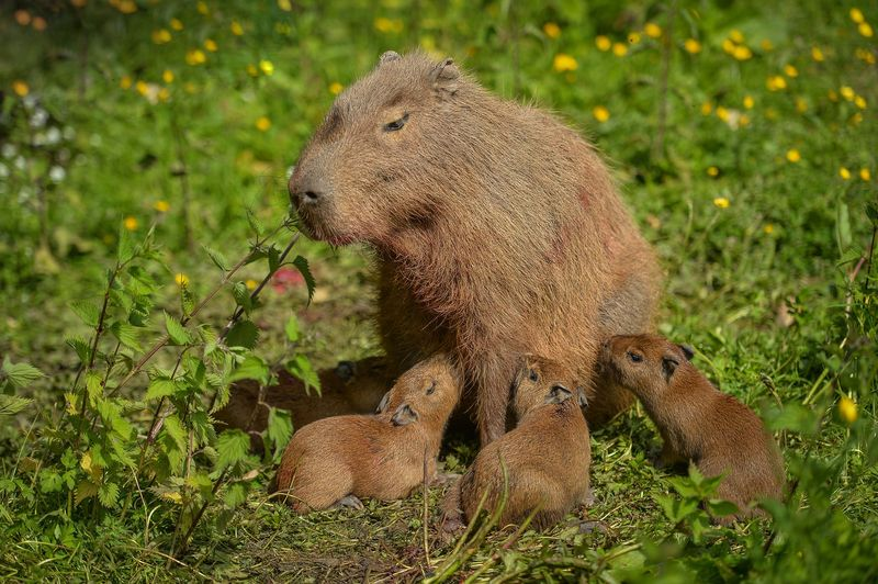 4_Visitors to Chester Zoo were treated to the sight of four baby capybaras being born to mum Lochley. The capybara is the world's largest rodent species.  (41)