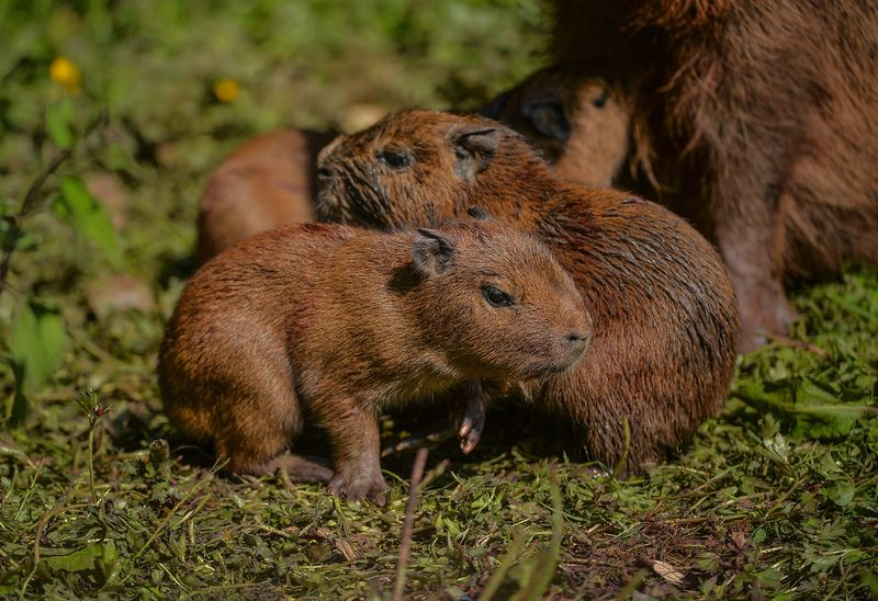 5_Visitors to Chester Zoo were treated to the sight of four baby capybaras being born to mum Lochley. The capybara is the world's largest rodent species.  (37)