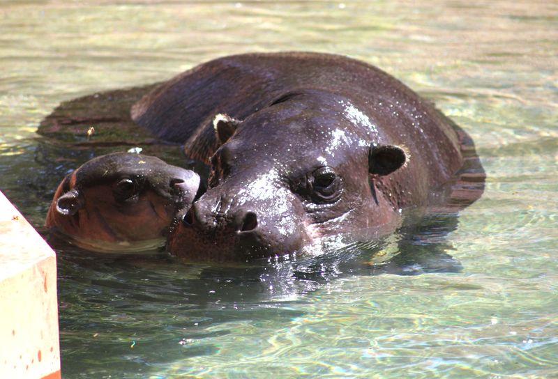 6_ZSI.cria.hipopotamo (10)