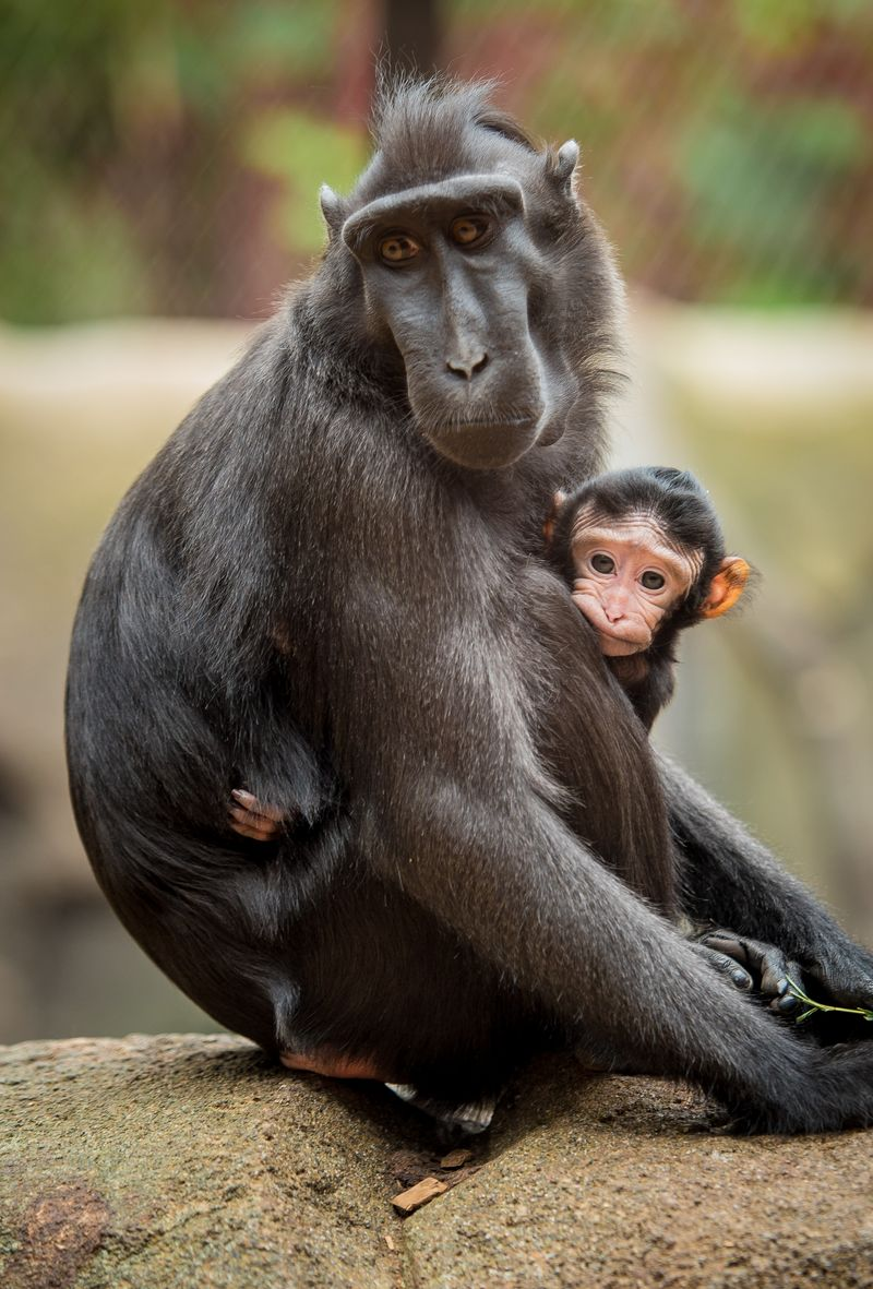 !A five-day-old Sulawesi crested macaque clings to first-time mum Camilla at Chester Zoo (2) 2
