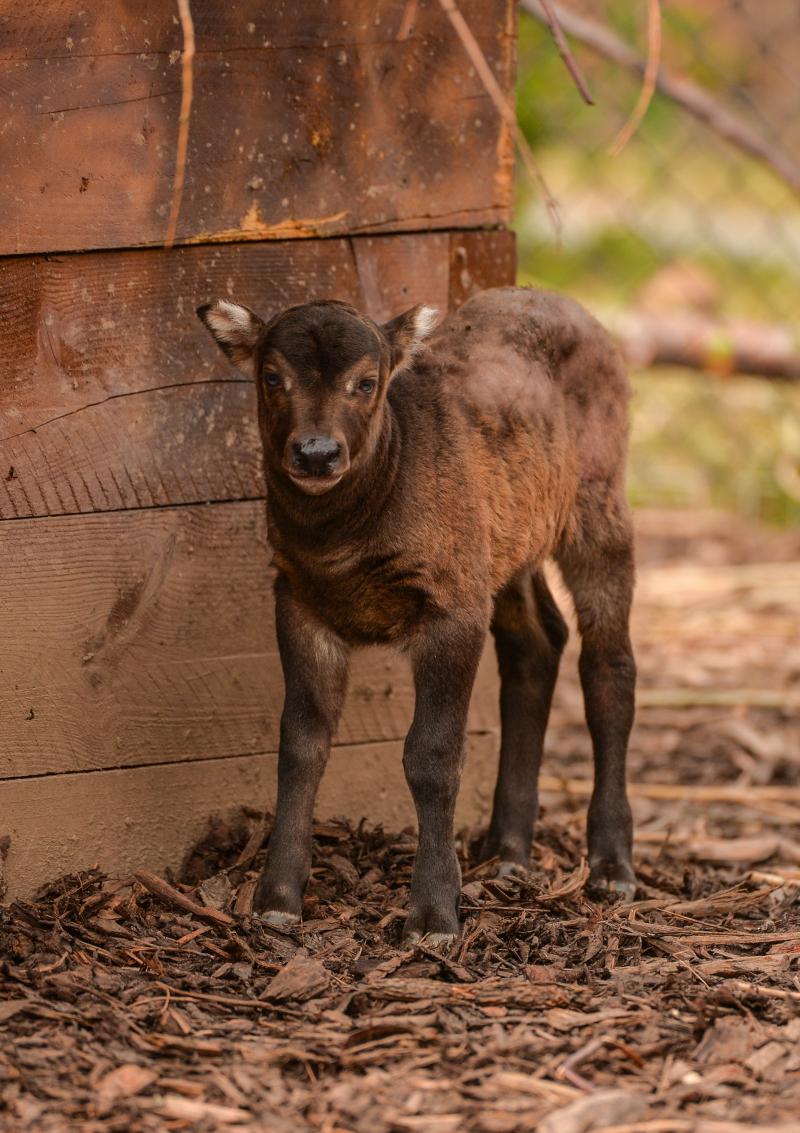 9_A rare anoa calf has been born at Chester Zoo (7)