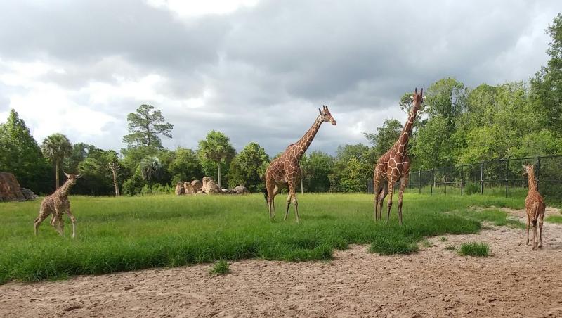 4_Susan Henken - 2 giraffe calves