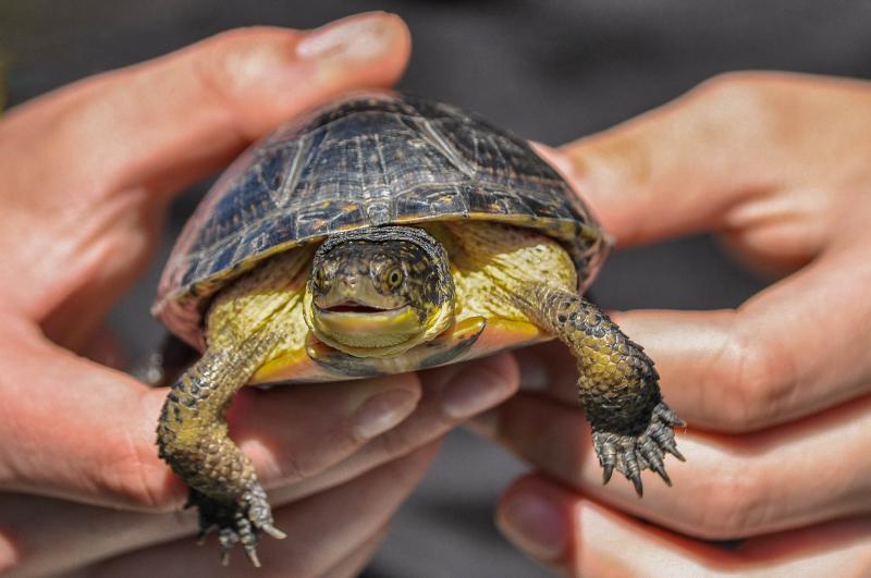 1_Blanding's Turtles (June 2016) _ credit Heike Reuse (2)