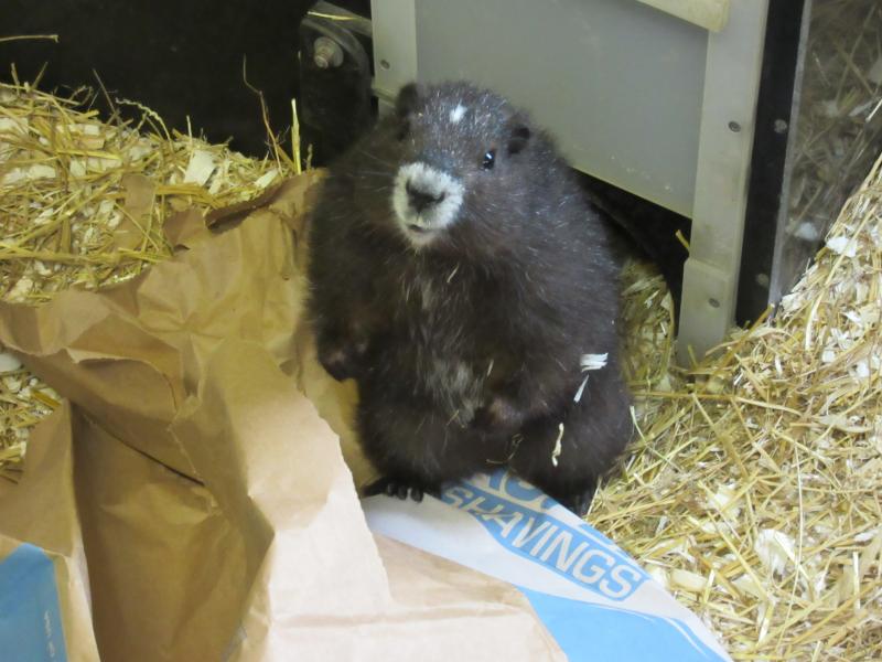 4_TZ_Marmot_1yearoldRizzo - Photo Credit K.Wright, Toronto Zoo