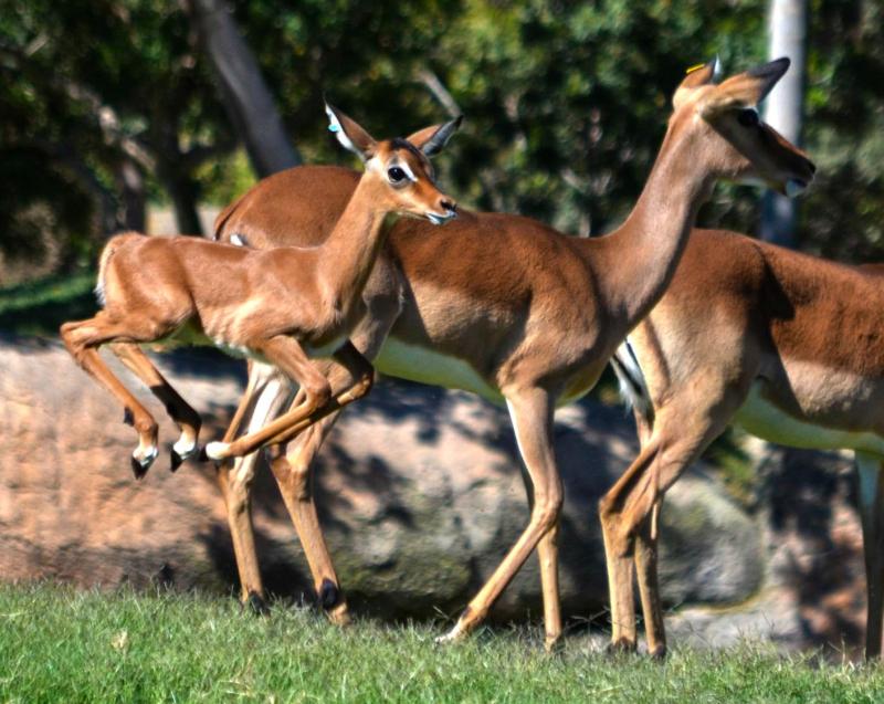 BIOPARC Valencia - Cría de impala saltando en la Sabana