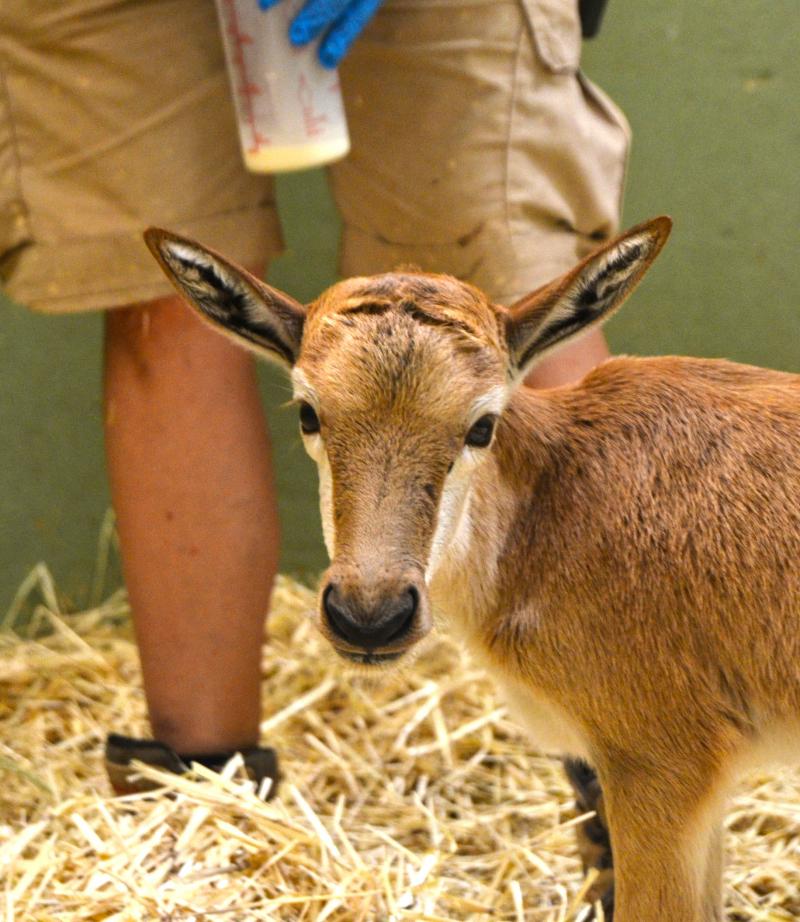 2 El equipo técnico de BIOPARC Valencia alimentando con biberón a una cría de blesbok recién nacida - verano 2016 (2)