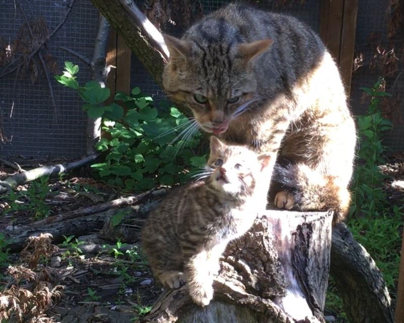 Wildcat kitten screengrab from video