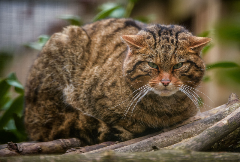 Female wildcat Einich (3)