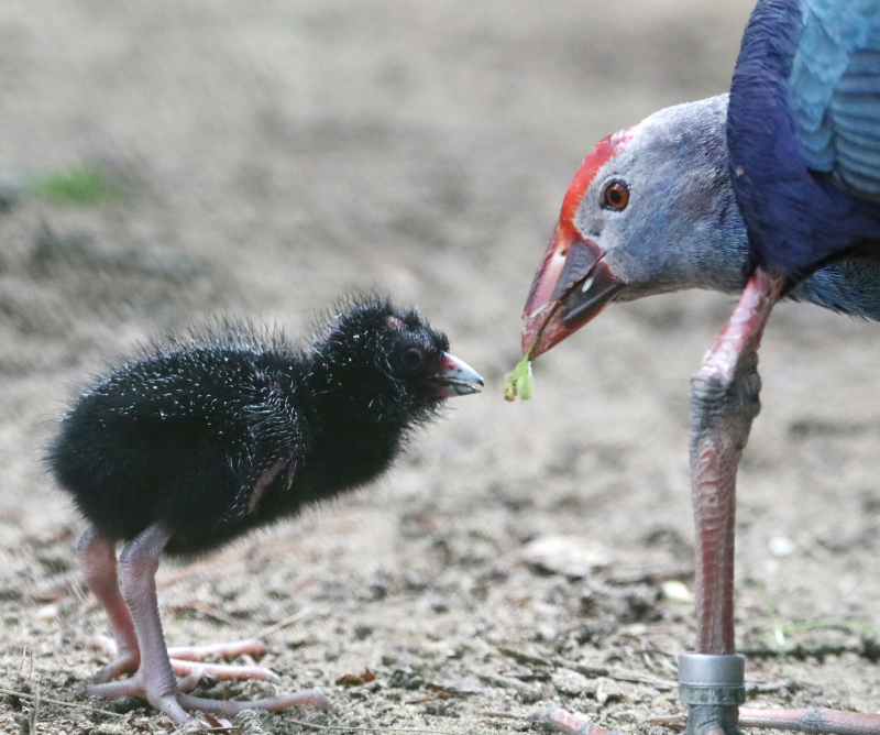 1_Purple Gallinule adult feed chick Paradise Park Cornwall 1