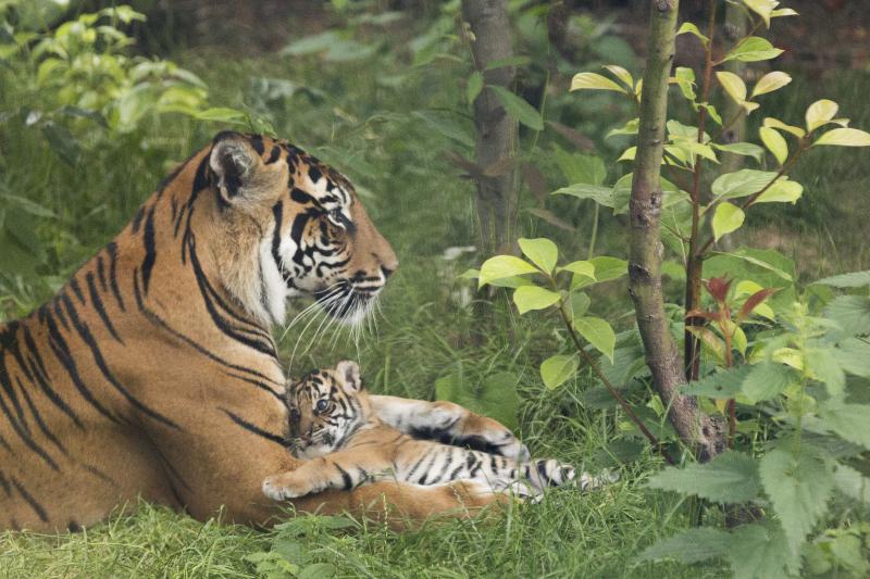 1_Sumatran tiger cubs July 2016 (c) ZSL London Zoo (5)
