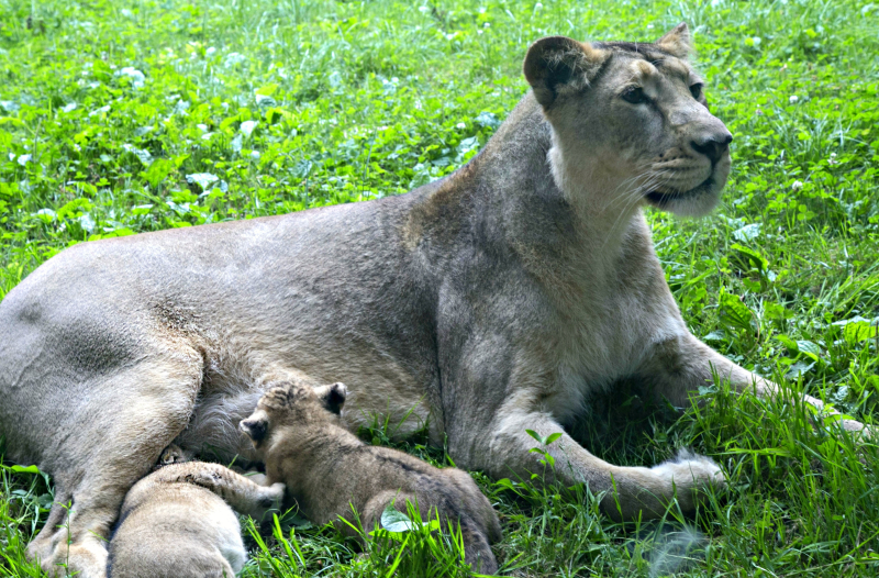 2016 07 PZ Asiatic lion cubs 1