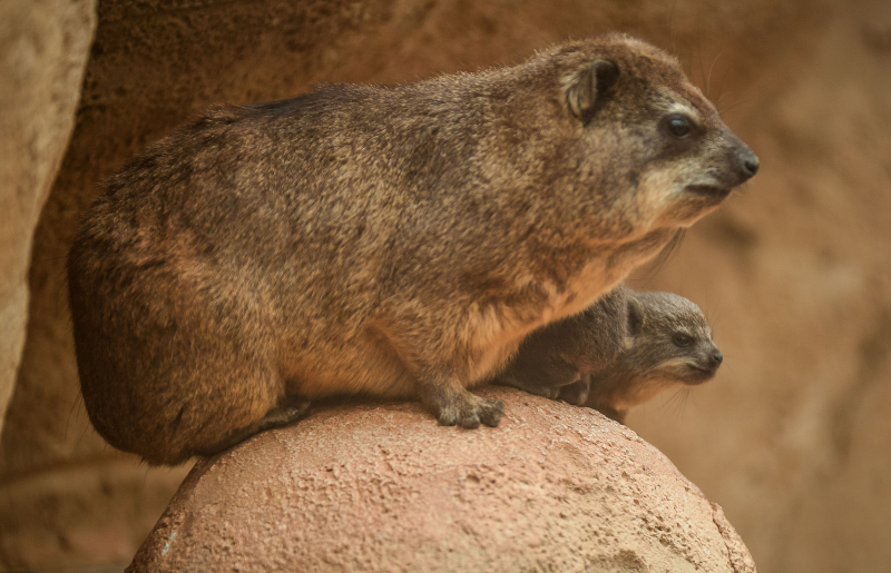 5_Four rock hyrax pups born at Chester Zoo (7)