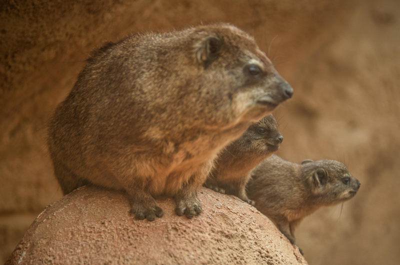 6_Four rock hyrax pups born at Chester Zoo (8)