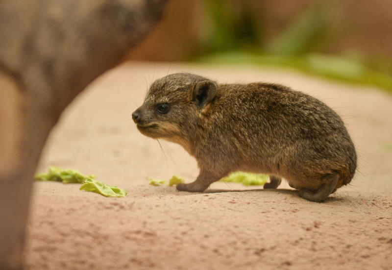 7_Four rock hyrax pups born at Chester Zoo (12)