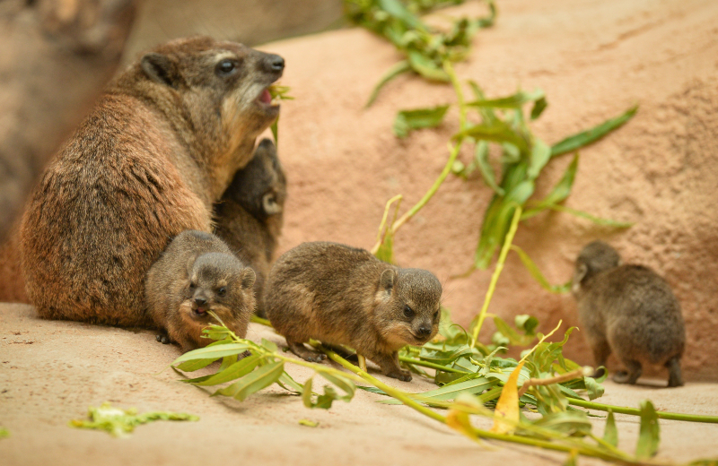 15_Four rock hyrax pups born at Chester Zoo (42)