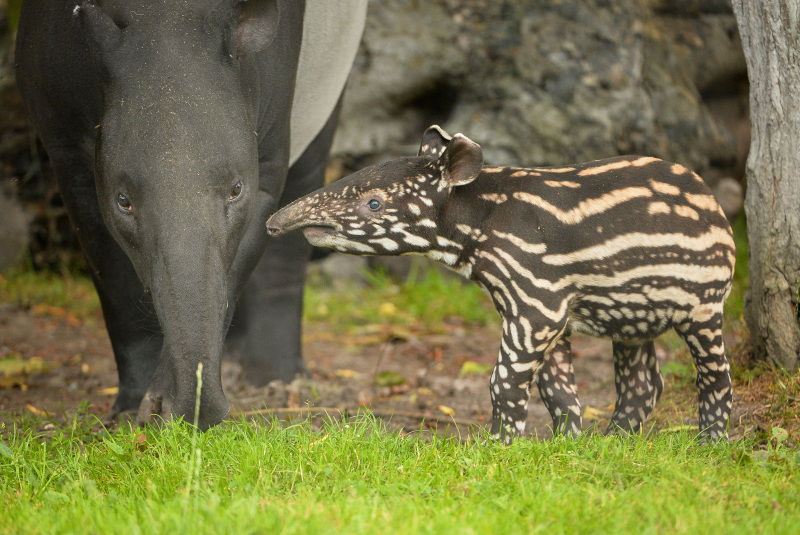 3_Solo the Malayan tapir calf goes on his first outdoor adventure at Chester Zoo (28)