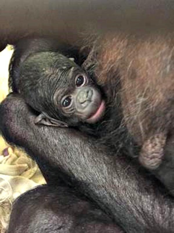 Bonobo Kuni and Infant 2_8-6-16