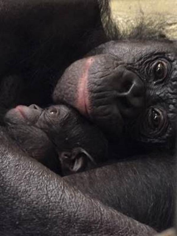 Bonobo Kuni and Infant 8-6-16