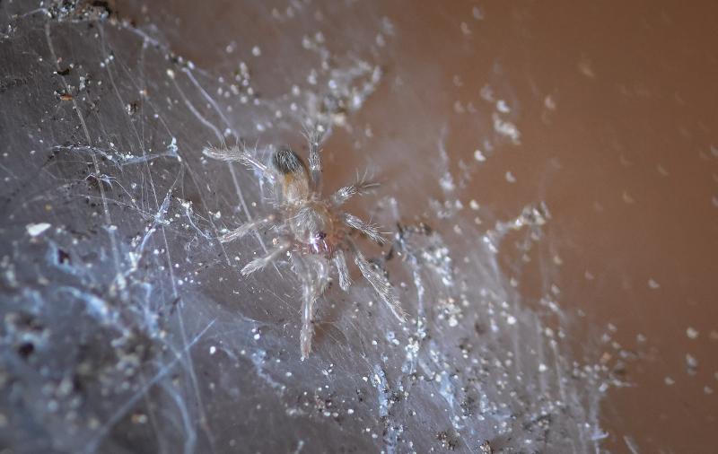 2_Montserrat tarantulas hatch in 'world first' at Chester Zoo (6)